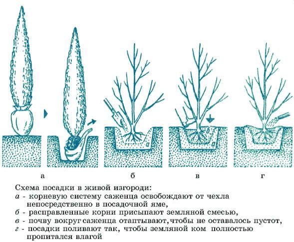 Схема посадки саженцев боярышника в живой изгороди