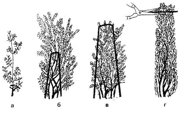 Схема стрижки живой изгороди из туи