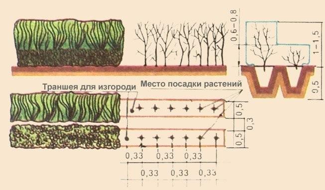 Технология посадки кустов боярышника для живой изгороди