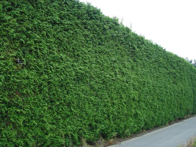 Живая зеленая шпалерная изгородь